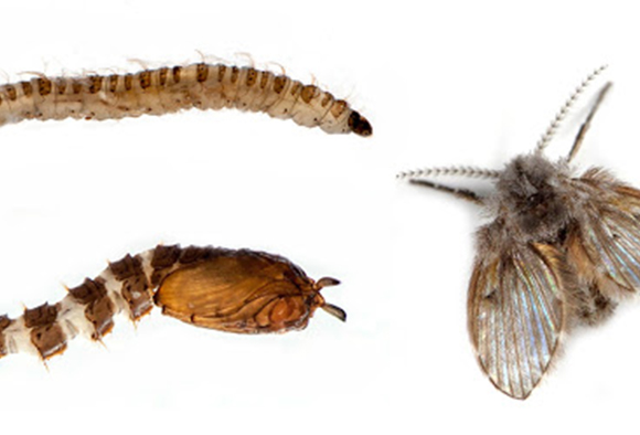 Life stages of a drain worm or drain fly